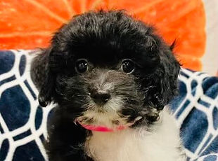 Maltese/ShihTzu/Poodle mix puppy for sale in Calgary at the Top Dog Store
