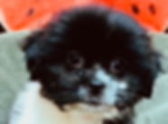 ShihTzu mix puppy for sale in Calgary