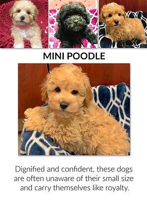 mini poodle fix.jpg
