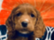 Cockapoo x Poodle mix puppy for sale in Calgary at The Top Dog Store