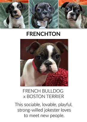 The Frenchon mix puppy at the Top Dog Store