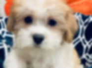 Maltese mix puppy for sale in Calgary at the Top Dog Store