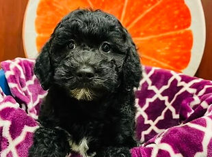 Cockapoopoo puppy for sale in Calgary at The Top Dog Store