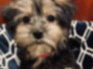 Yorkie x Havanese mix puppy for sale in Calgary