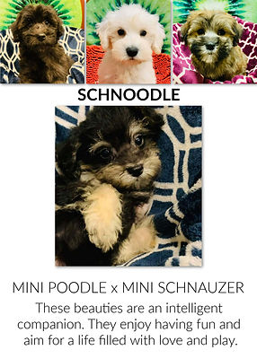 Schnoodle.jpg