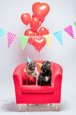 two-pugs-dogs-with-birthday-decorations-
