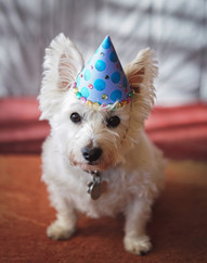 westie-dog-wearing-a-birthday-hat_t20_lW