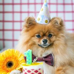 pomeranian-puppy-miha-celebrates-its-fir