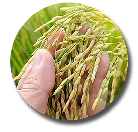 Matter Hand in Rice Field.png