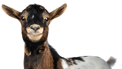 Granary Road Goat for Web.png