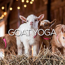 Granary Road Website Goat Yoga Image 1.j