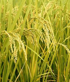 Matter Rice Field 1.jpg