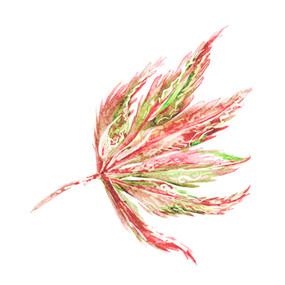 wild acer leaf.jpg