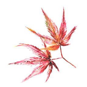acer leaf pair1.jpg