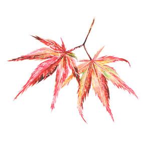 acer leaf pair2.jpg