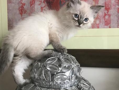 Ready to reserve last kitten