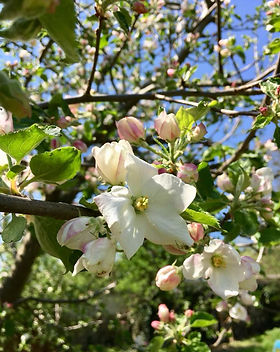 Nahaufnahme Apfelblüte an einem Baum mit vielen Blüten   Zweige mit grünen kleinen Blättern hinter der Apfelblüte unscharf erkennbar   Hintergrund blauer Himmel