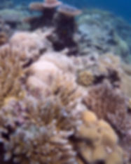 CoralGlimmer_02.JPG