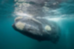 right-whale-climate_02.jpeg