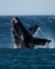 Right-Whales-Bohorquez.jpeg