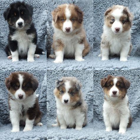 Pups 8 weeks.jpg