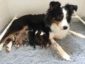 Miniature American Shepherd puppies UK