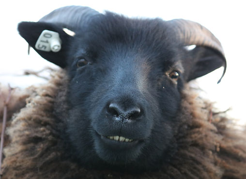 icelandic sheep, lamb, black sheep, scuttleship farm