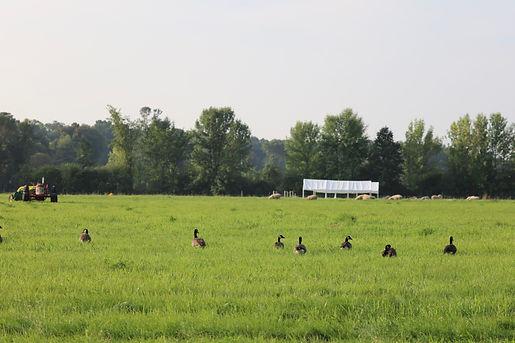 Scuttleship Farm, grazig, geese