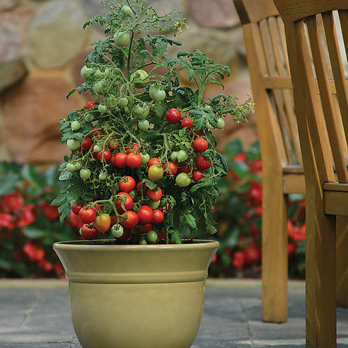 Geranium Kiss Dwarf Cherry (Pre-Order Discount)