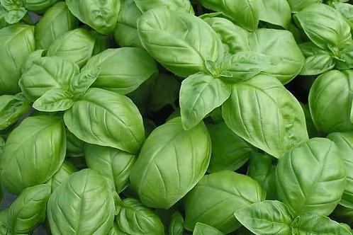 Genovese Basil (Pre-Order Discount)
