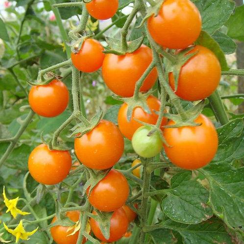 Sun Gold Cherry Tomato (Pre-Order Discount)