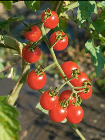 Jasper Cherry Tomato (Pre-Order Discount)