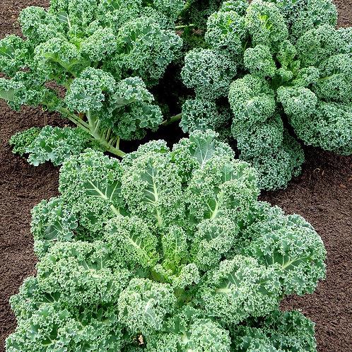 Vates Blue Scotch Curled Kale (Pre-Order Discount)