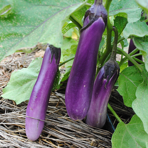 Ping Tung Long Eggplant (Pre-Order Discount)