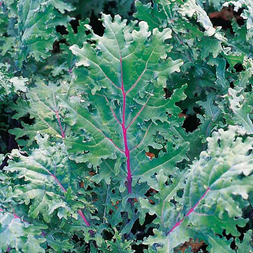 Red Russian Kale (Pre-Order Discount)
