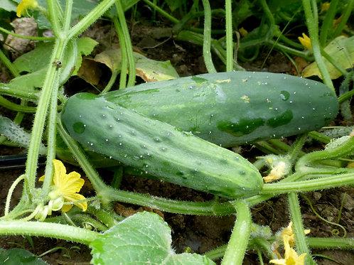 Marketmore 76 Cucumber (Pre-Order Discount)