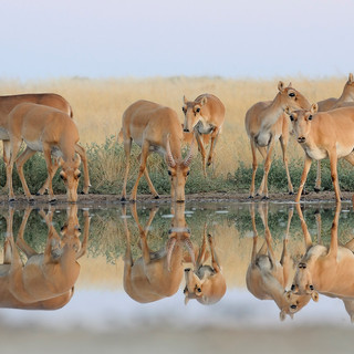 K2_Group_portrait_of_Saiga_antelopes_192