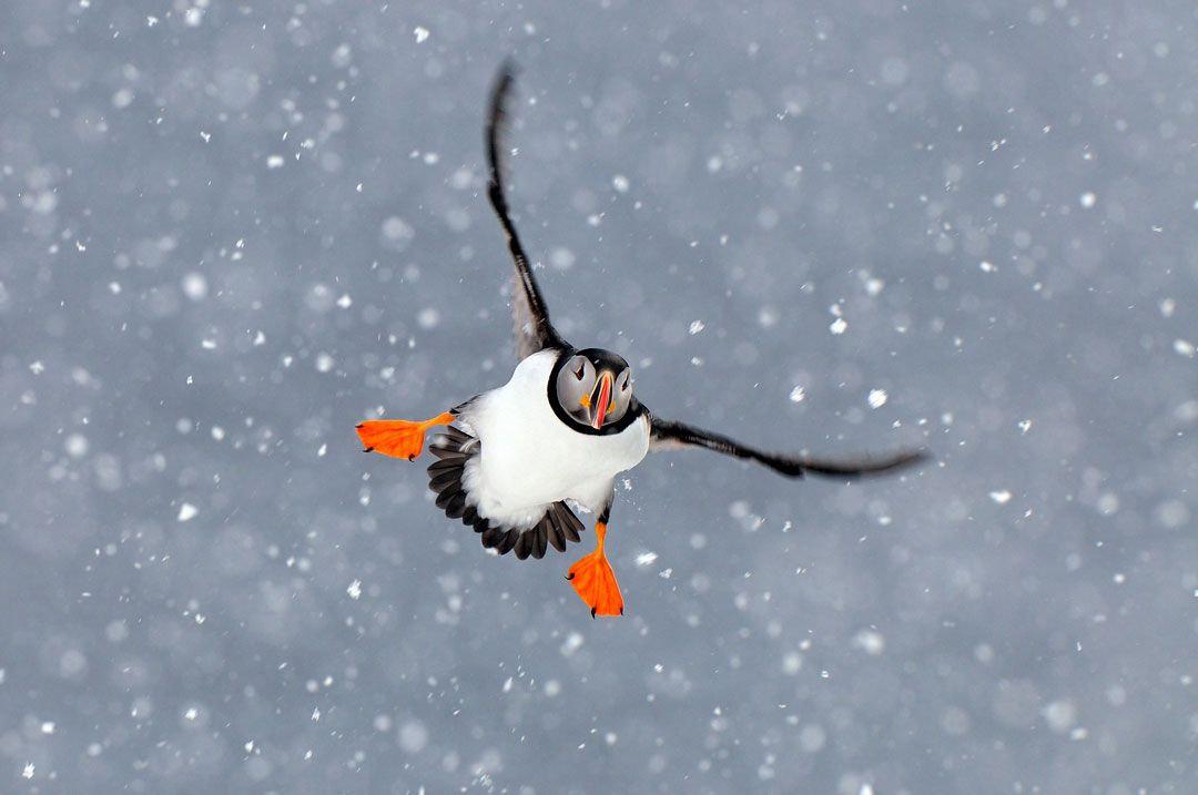 jan-vermeer-arctic-puffin-copyright-snow