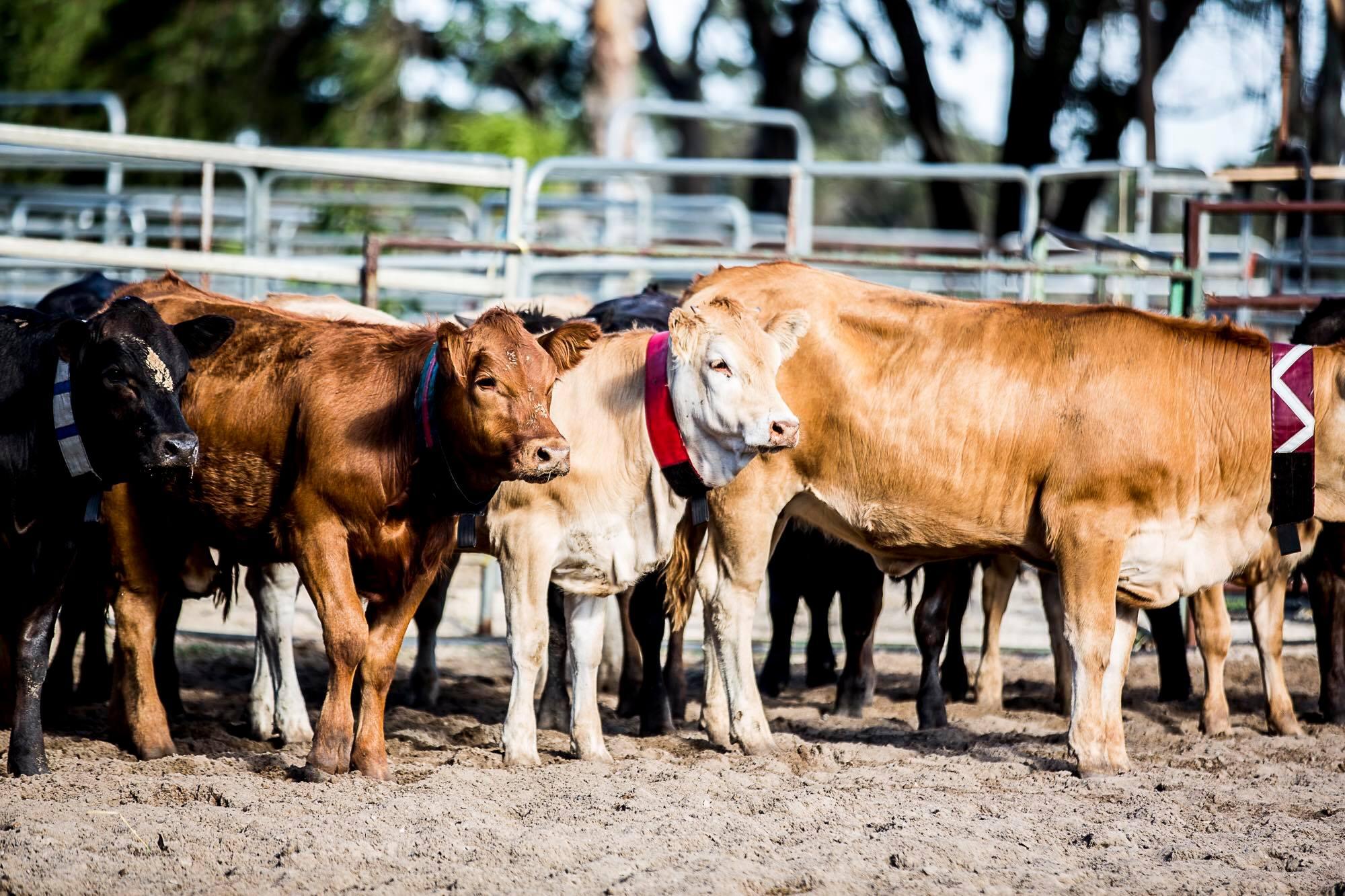 tp cows.jpg