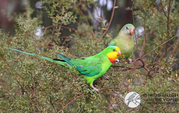 Superb Parrot (Polytelis swainsonaii) 2348 CT.jpg