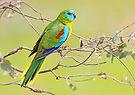 Turquoise Parrot (Neophema pulchella) 94