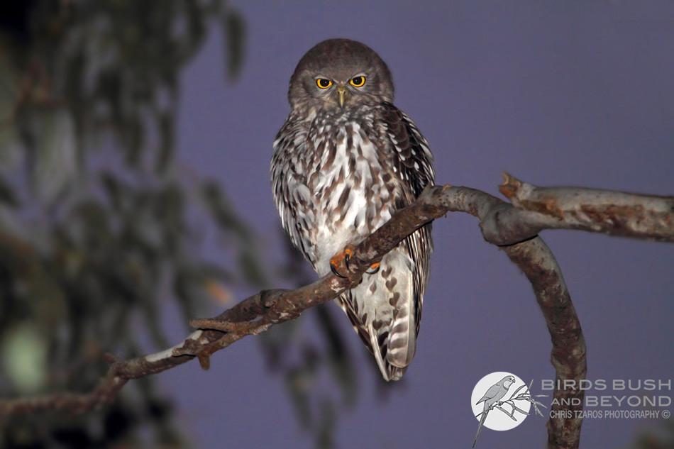 Barking Owl (Ninox connivens) 3232 CT.jpg