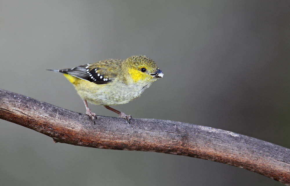 Forty-spotted Pardalote 2623 lr.jpg