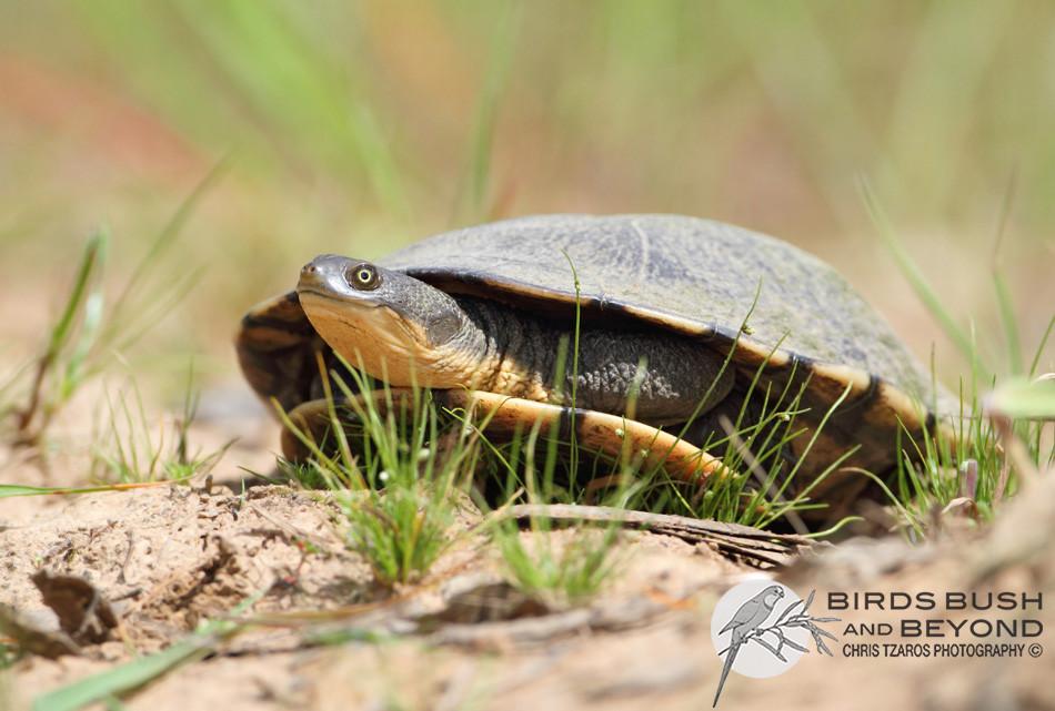 Common Long-necked Tortoise (Chelodina longicollis) 9107 CT.jpg