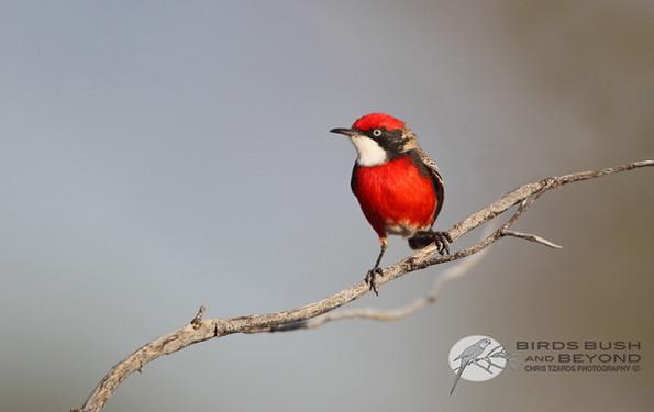 Crimson Chat (Epthianura tricolor)6135 CT.jpg