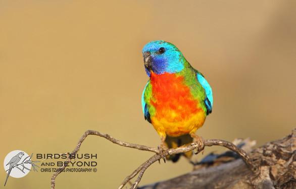 Scarlet-chested Parrot (Neophema splendida7301 CT.jpg