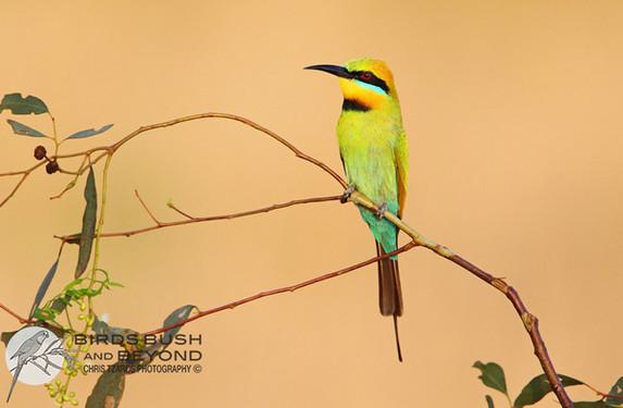 Rainbow Bee-Eater (Merops ornatus) 2807 CT.jpg
