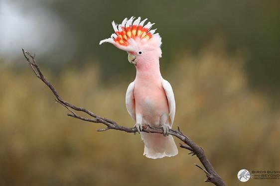 Major Mitchell's Cockatoo (Lophochroa le