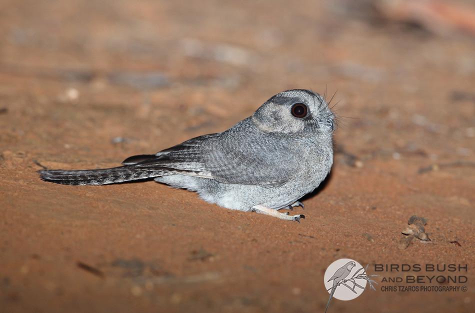 Australian Owlet-nightjar (Aegotheles cristatus) 0835 CT.jpg