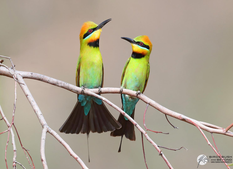Rainbow Bee-eater (Merops ornatus) 0615